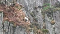 Sheep stuck on side of cliff