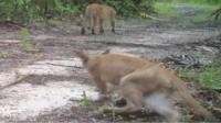 Panthers limping