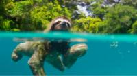 Sloth swims in water