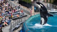 Visitors are greeted by an Orca killer whale as they attend a show featuring the whales during a visit to the animal theme park SeaWorld in San Diego, California 19 March 2014.