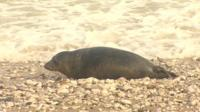 seal on Rhos-on-Sea beach