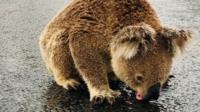 Koala drinks from puddle in Australia
