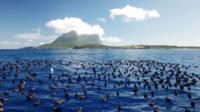 40 000 буревестников гнездятся на удаленном острове в Тасманском море.