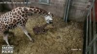 Akacia, a Rothschild's giraffe, and her baby