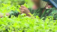 Child working on tea plantation