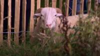A grazing sheep