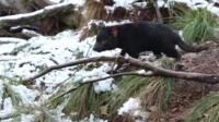Tasmanian devil in the snow