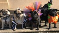 """Pug'o'ween"" dogs in Norwich"