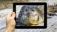 Ipad shown taking a picture of American alligator