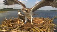 Osprey at Rutland Water
