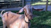 Goat predicting a football match result