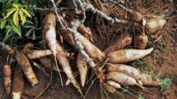 Cassava plant tubers on the ground