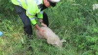 Policeman with pig