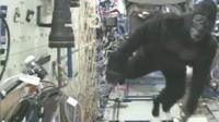 Man in a gorilla suit on the International Space Station