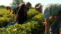 Polish strawberry pickers
