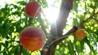A peach hangs from a tree.