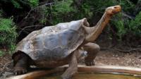 Черепаха по кличке Диего произвел потомство из 800 особей на острове Эспаньола.