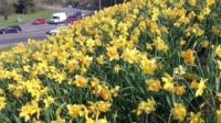 Daffodils in Telford