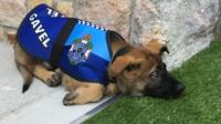 "Photo of a German shepherd puppy, wearing a Queensland Police dog coat with his name, ""Gavel"", next to the police emblem"