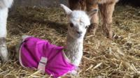 Holly, the baby alpaca