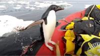 Penguin on a dinghy