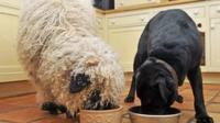 sheep and dog at dog bowls