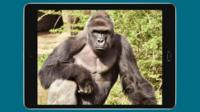 Harambe photoshopped onto a tablet screen