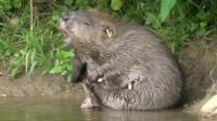 Beaver having a scratch