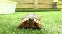 "Corbiere the ""psychic"" tortoise"