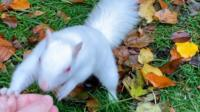 White squirrel being fed nuts