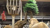 Elephants with a Christmas tree at Colchester Zoo