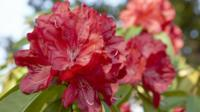 Rhododendrons flowers