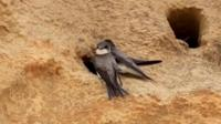 Sand martins on a cliff