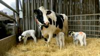 Triplets born on Kent dairy farm
