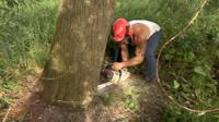 Willow tree being felled