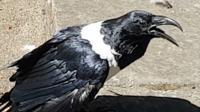 Пегий ворон