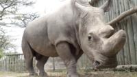 В Кении умер последний самец северного белого носорога.