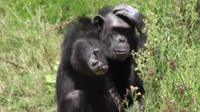 A chimpanzee put its hand out for food while scratching its head