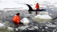 Rescuers try to free orcas trapped in ice