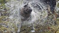Wet dog shaking off water