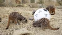 The animals tested out their dribbling skills ahead of the World Cup quarter-final.