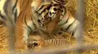 Mother and cubs together in their new home at Woburn Safari Park