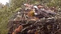 Red squirrel peeks into an osprey nest