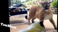 A domestic cat standing up to a mountain lion