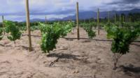 Vineyards in South Africa's Western Cape