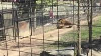 Woman in tiger enclosure in Toronto Zoo