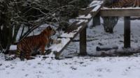 Amur tiger tries to climb a ramp