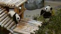 Pandas in Toronto Zoo