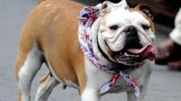 A British Bulldog