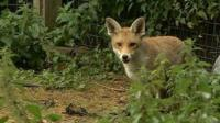 Fox at Vale Wildlife Hospital